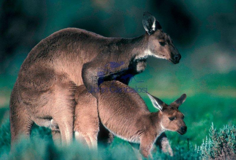 Western Grey Kangaroos (Macropus fuliginosus) - South Australia-