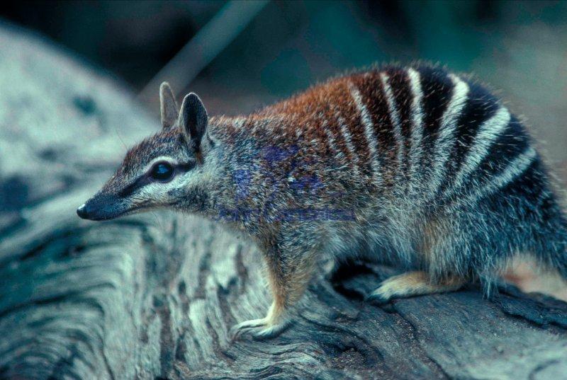 Numbat (Myrmecobius fasciatus) - Australia
