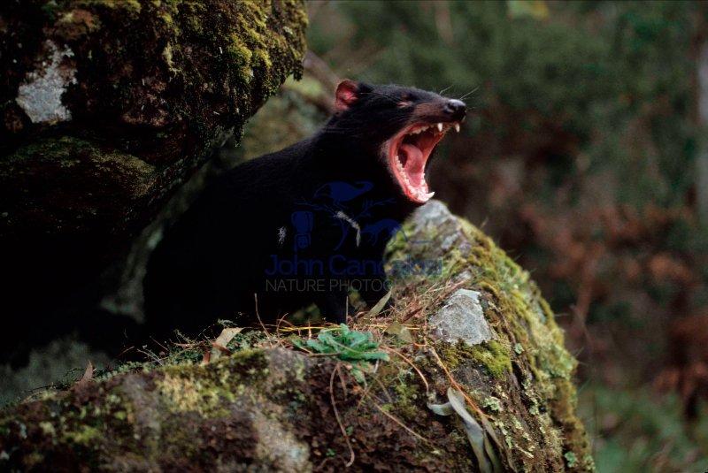 Tasmanian Devil (Sarcophilus harrisii) - Tasmania - Australia