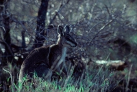 Bridled Nailtail Wallaby (Onychogalea fraenata) - Queensland Aus