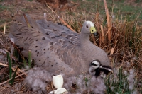 Cape Barren Geese (Cereopsis novaehollandiae) Mother on Nest wit