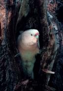 Pink Cockatoo (Cacatua leadbeateri)  Nest- Australia