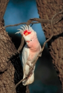 Pink Cockatoo (Cacatua leadbeaters) or Major Mitchell - South Au