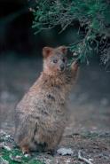 Quokka (setonix brachyurus) - Western Australia-Australia