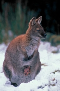 Red-necked Wallaby (Macropus rufogriseus) (Bennett\'s) - Tasmania