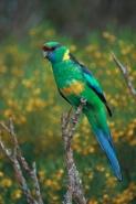 Mallee Ringneck (Barnardius barnardi) - Australia