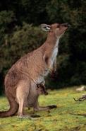kangaroopairdlab