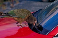 Kea (Nestor notabilis) - South Island New Zealand