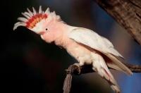 Pink Cockatoo (Cacatua leadbeateri) - Australia