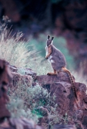 Yellow-footed Rock-wallaby (Petrogale xanthopus) -  South Austra