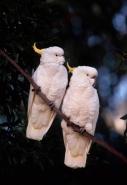Sulphur-Crested Cockatoos (Cacatua galerita) - Australia