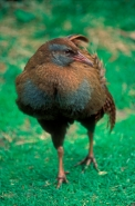 North Island Weka (Gallirallus australis greyi) New Zealand