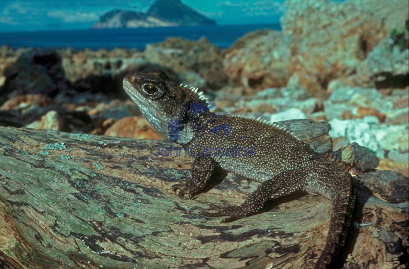 Tuatara-(Sphenodon punctatus) - New Zealand