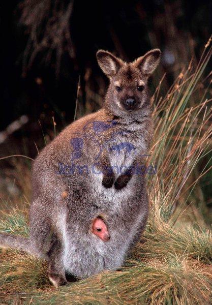 Red-necked Wallaby (Macropus rufogriseus) (Bennett\'s) - Tasmania
