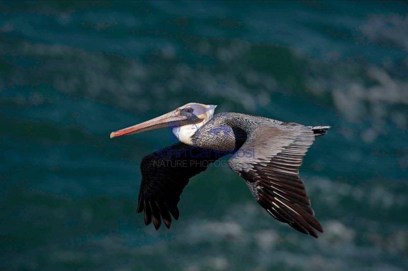 Brown Pelican (Pelecanus occidentalis) - Southern California - U