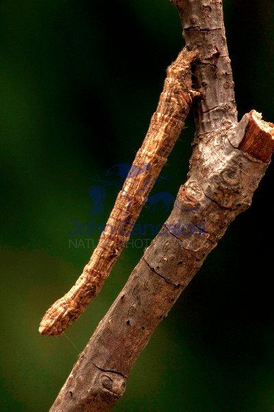 Geometrid Moth Larva - Common Name Inchworm - Oregon - USA