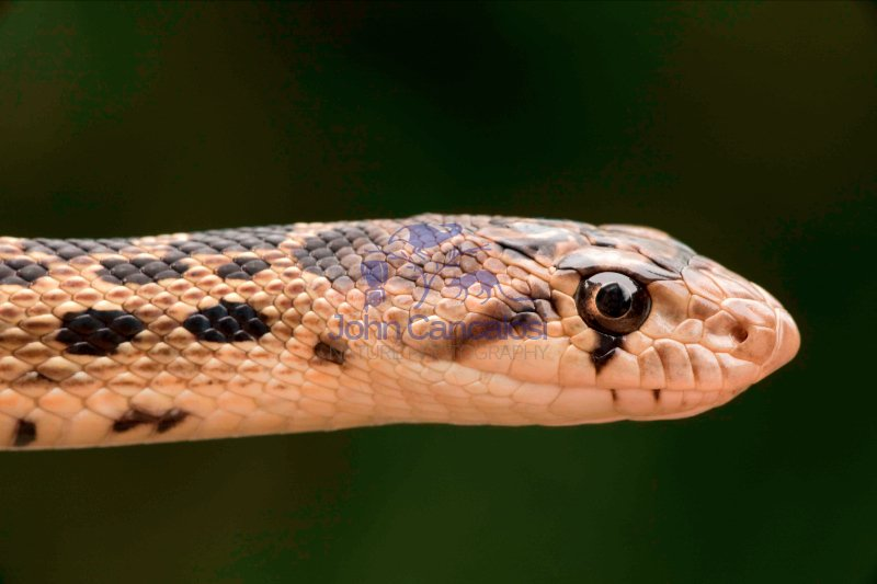 Pacific Gopher Snake Head (Pituopis catenifer catenifer) - OR -
