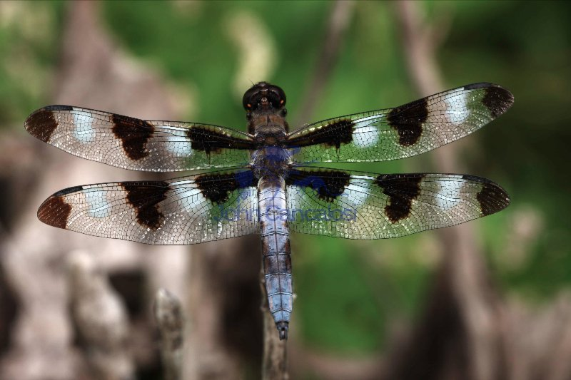 Dragonfly - Species unknown - Oregon - U.S.A.