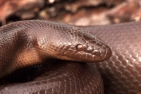 Rubber Boa (Charina bottae) - Oregon - USA