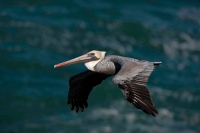 Brown Pelican (Pelecanus occidentalis) - Southern California - U