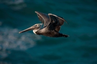 Brown Pelican (Pelecanus occidentalis) - California - USA