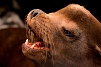 California Sea Lion (Zalophus californianus) - Oregon - USA