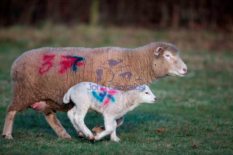 Sheep - Ovis aries - Herefordshire - England - UK