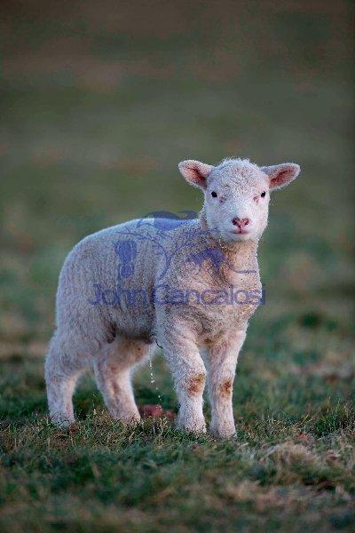 Sheep (lamb) - Ovis aries - Herefordshire - England - UK