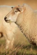 Suffolk sheep - Ovis aries - UK