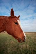 Arab Horse(s) - Equus caballus - U.K.