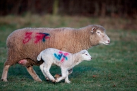 Sheep - Ovis aries - Herefordshire - England - UK