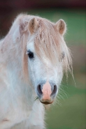 Welch Mountain Pony (Section A)  - (Equus caballus) - UK