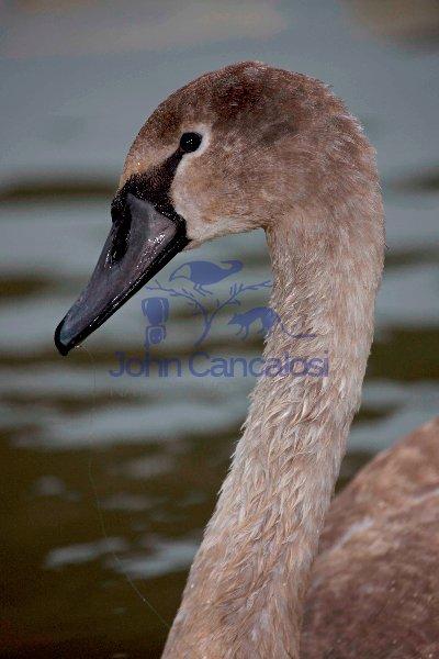 Mute Swan (Cyngus olor) - Juvenile w/Fishing Line - England - UK