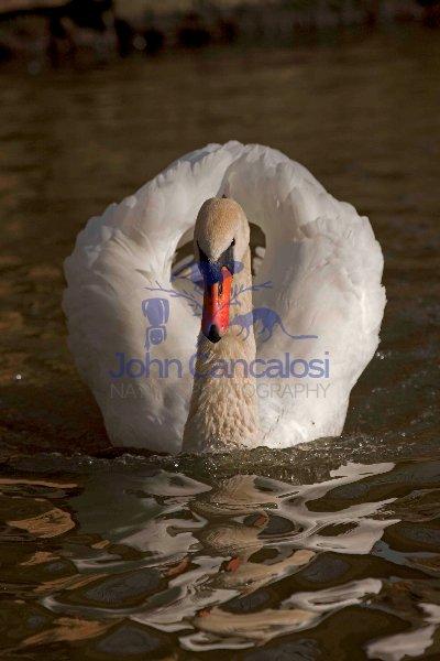 Mute Swan (Cyngus olor) - Busking - England - UK