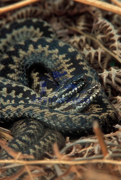 Adder (Vipera berus)  - Two Males basking - UK