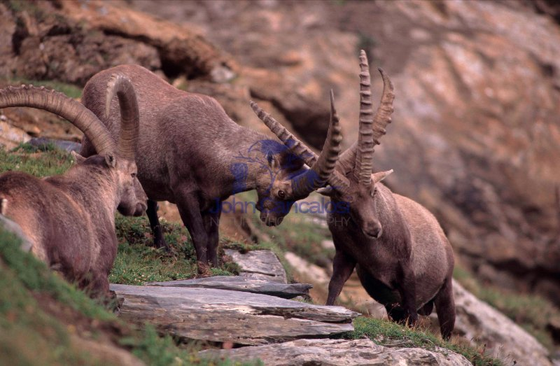 Alpine Ibex (Capa ibex) - Switzerland