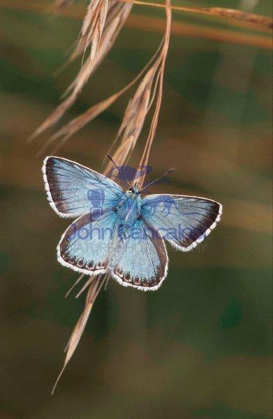 Chalkhill Blue (Lysandra coridon) - UK