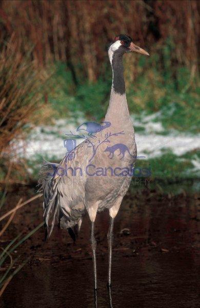 Common Crane (Grusgrus) - Europe