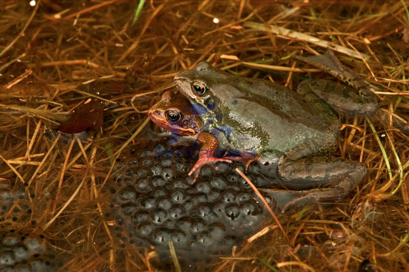 European Common Frog(s) - (Rana temporaria) - UK -Mating