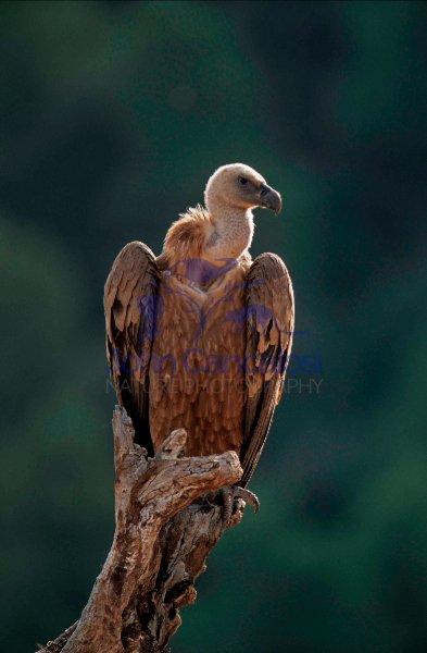 Griffon Vulture (Gyps fulvus) - Spain