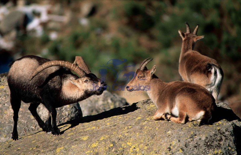 Spanish Ibex (Capra pyrenaica) - Male Courting Female - Spain