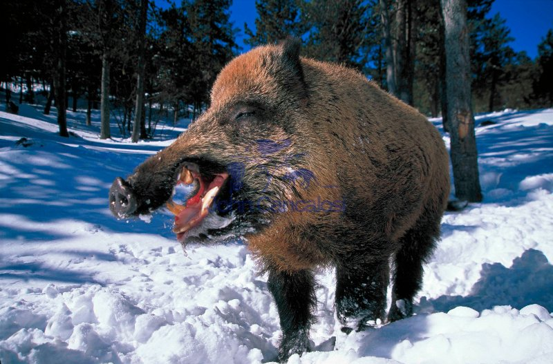 Wild Boar (Sus scofa) - France - Male