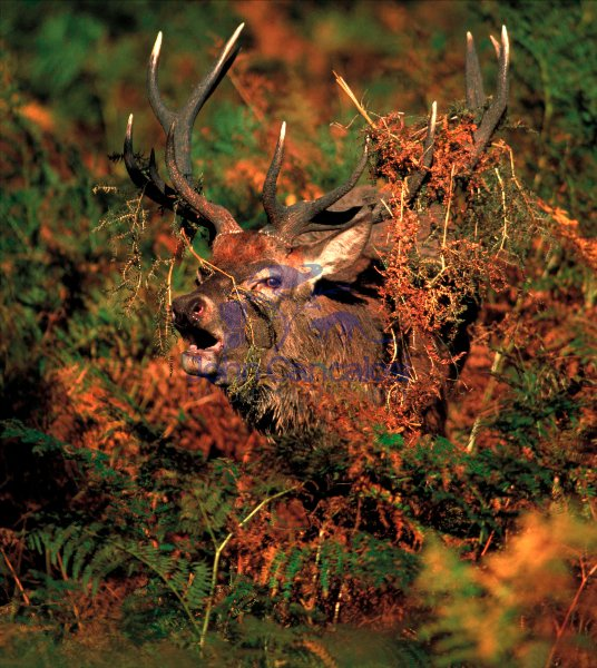 Red Deer (Cervus elaphus) - UK