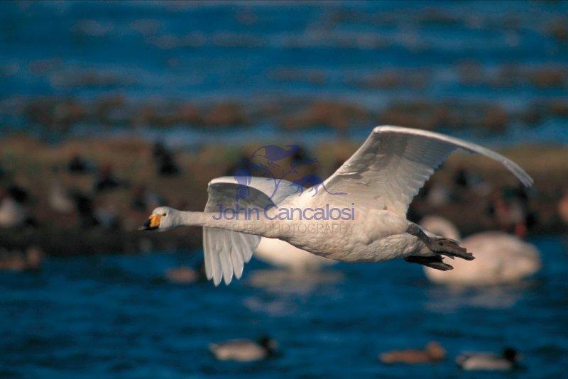 Whooper Swan (Cygnus cygnus) - UK