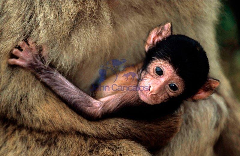 Barbary Macaque (Macaca sylvanus) - Gibralter