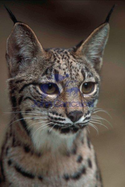 Iberian Lynx (Lynx pardinus) - Spain