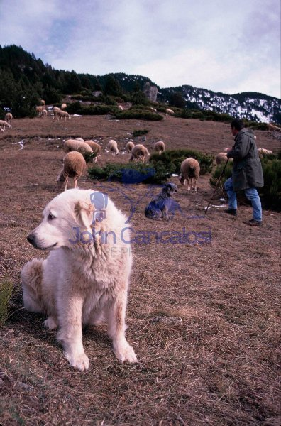 Pyrenean Mountain Dog- France