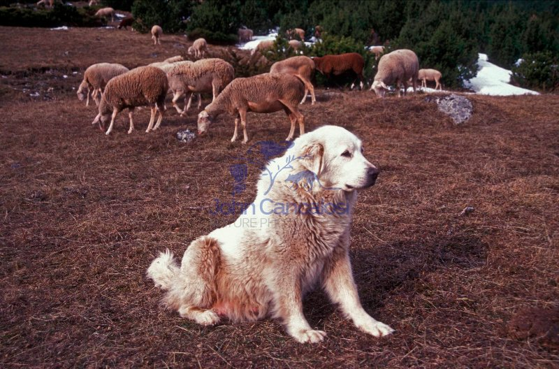 Pyrenean Mountain Dog - Pyrenees France