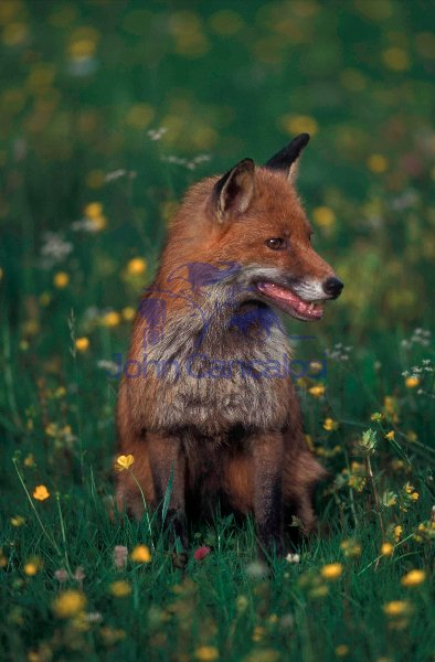 European Red Fox ((Vulpes vulpes) - Spain