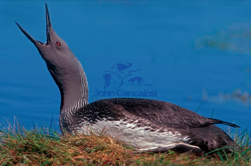 Red-throated Diver Calling (Gavia stellata) - UK